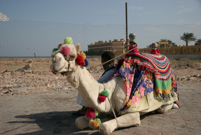camel dafari in desert